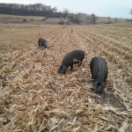 Pigs in the Cornstalks