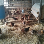 More Deep Litter Chicken Bedding