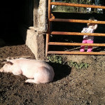 The Pigs: 2013