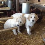 Livestock Guard Dogs in Training